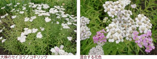 大株のセイヨウノコギリソウ、混合する花色