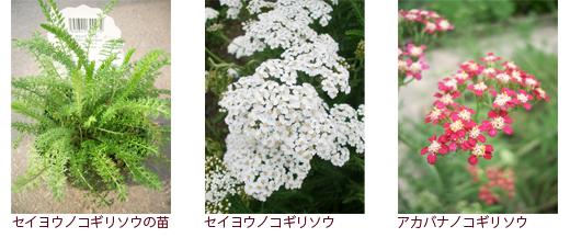 セイヨウノコギリソウの苗、セイヨウノコギリソウ、アカバナノコギリソウ