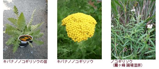 キバナノノコギリソウの苗、キバナノノコギリソウ、ノコギリソウ