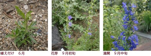 植え付け 6月、花芽 9月初旬、満開 9月中旬