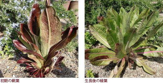 初期の銅葉、生長後の緑葉