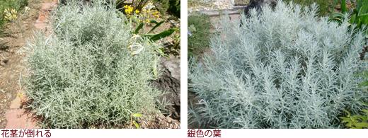 花茎が倒れる、銀色の葉