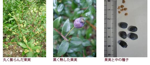 丸く膨らんだ果実、黒く熟した果実、果実と中の種子