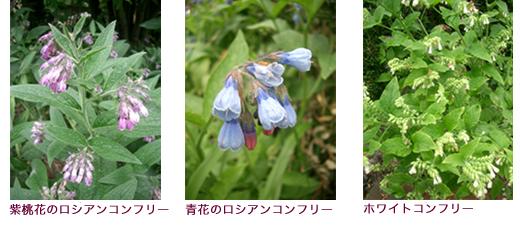 紫桃花のロシアンコンフリー、青花のロシアンコンフリー、ホワイトコンフリー