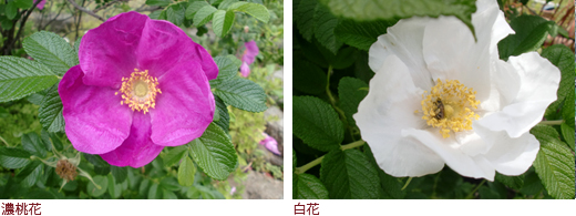 濃桃花、白花