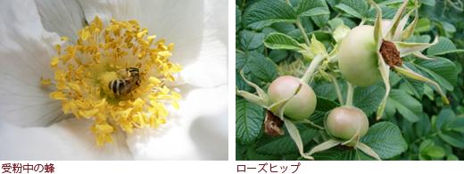 受粉中の蜂、ローズヒップ