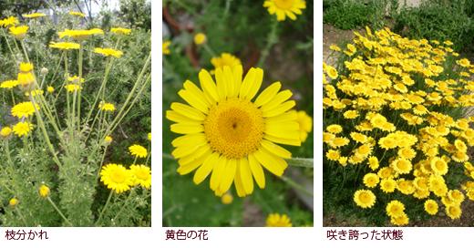 枝分かれ、黄色の花、咲き誇った状態