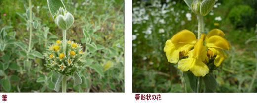 蕾,唇形状の花