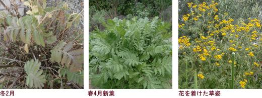 美しい大型の葉、しっかり守られている花芽、穂状花序の花