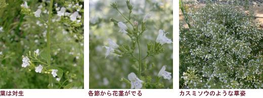 葉は対生、各節から花茎がでる、カスミソウのような草姿