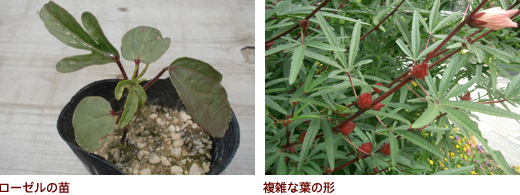 ローゼルの苗、複雑な葉の形