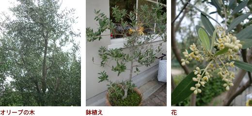 オリーブの木、鉢植え、花