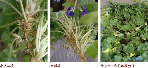 小さな根、水栽培、ランナーからの株分け