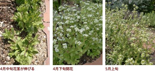 4月中旬花茎が伸びる、4月下旬開花、5月上旬