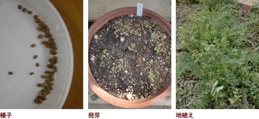 種子、発芽、地植え