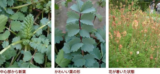 中心部から新葉、かわいい葉の形、花が着いた状態