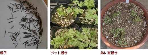 種子、ポット播き、鉢に直播き