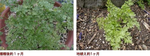 播種後約1ヶ月、地植え約1ヶ月