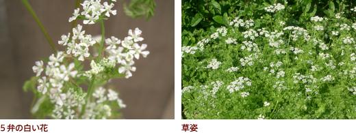 5弁の白い花、草姿