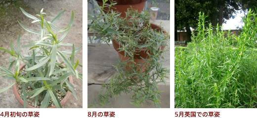 4月初旬の草姿、8月の草姿、5月英国での草姿