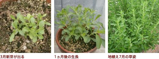 3月新芽が出る、1ヵ月後の生長、地植え7月の草姿