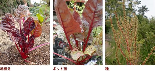 地植え、ポット苗、種