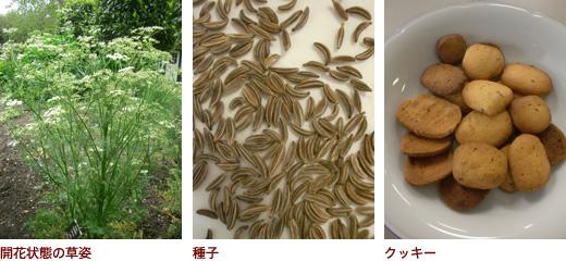 開花状態の草姿、種子、クッキー