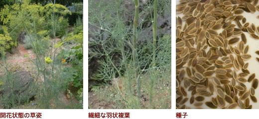 開花状態の草姿、繊細な羽状複葉、種子