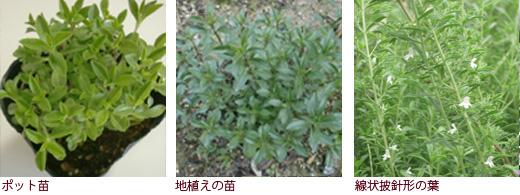 ポット苗、地植えの苗、線状披針形の葉