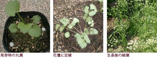 発芽時の丸葉、花壇に定植、生長後の細葉