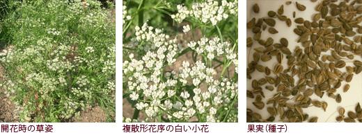 "開花時の草姿、複散形花序の白い小花、果実(種子)"""