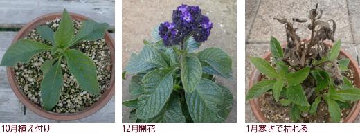 10月植え付け、12月開花、1月寒さで枯れる