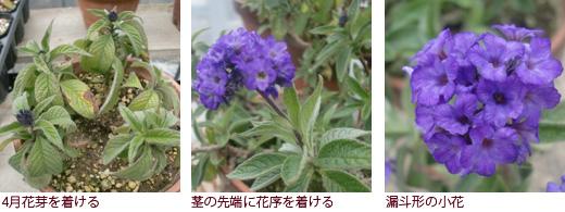 4月花芽を着ける、茎の先端に花序を着ける、漏斗形の小花