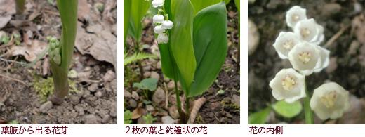 葉腋から出る花芽、2枚の葉と釣鐘状の花、花の内側
