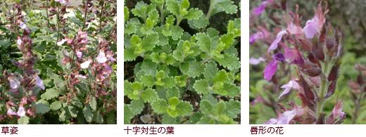 草姿、十字対生の葉、唇形の花