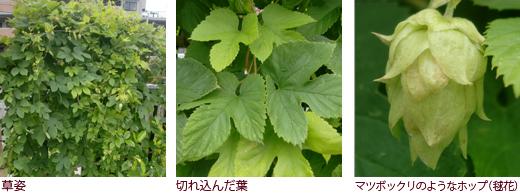 草姿、切れ込んだ葉、マツボックリのようなホップ(毬花)