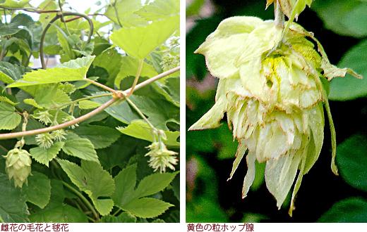 雌花の毛花と毬花、黄色の粒ホップ腺