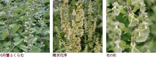 6月蕾ふくらむ、穂状花序、花の形