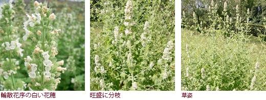 輪散花序の白い花穂、旺盛に分枝、草姿