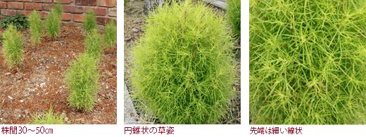 株間30〜50�、円錐状の草姿、先端は細い線状