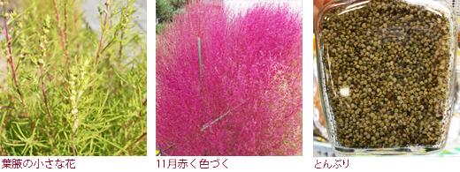 葉腋の小さな花、11月赤く色づく、とんぶり