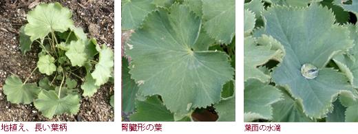 地植え、長い葉柄、腎臓形の葉、葉面の水滴