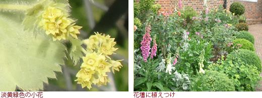 淡黄緑色の小花、花壇に植えつけ