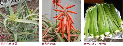 茎から出る葉、赤橙色の花、食用になるベラの葉