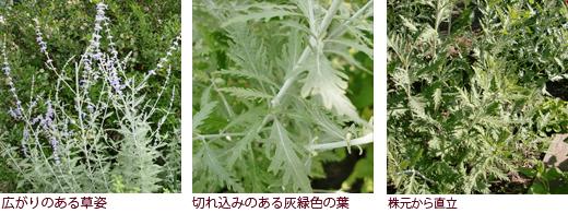 広がりのある草姿 切れ込みのある灰緑色の葉 株元から直立
