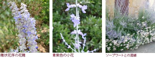 穂状花序の花穂 青紫色の小花 ソープワートとの混植
