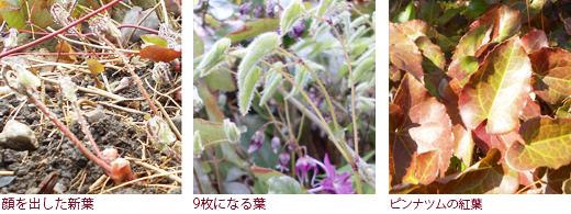 顔を出した新葉 9枚になる葉 ピンナツムの紅葉