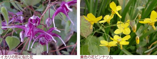 イカリの形に似た花 黄色の花ピンナツム