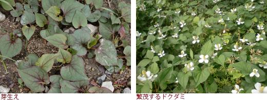 芽生え、繁茂するドクダミ
