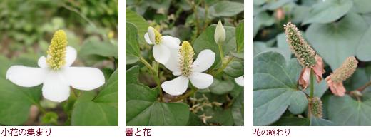 小花の集まり、蕾と花、花の終わり